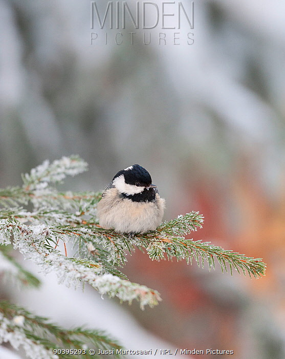 Coal Tit (Periparus ater ater) on snowy fir branch, central Finland, January  -  Unknown photographer