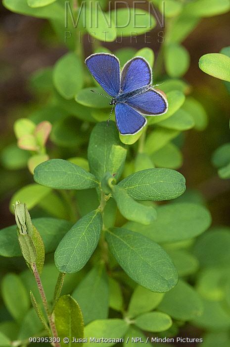 Cranberry Blue butterfly (Plebejus optilete) male, South Karelia, southern Finland, June  -  Unknown photographer