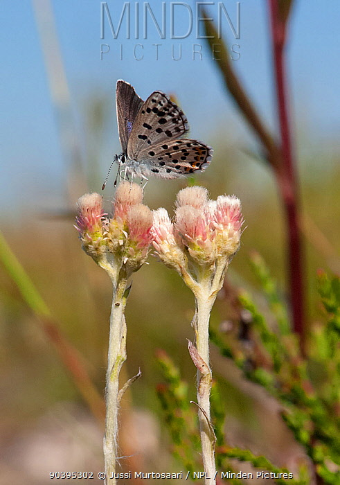 Eastern Baton Blue butterfly (Pseudophilotes vicrama) female, on flower, southwest Finland, June  -  Unknown photographer