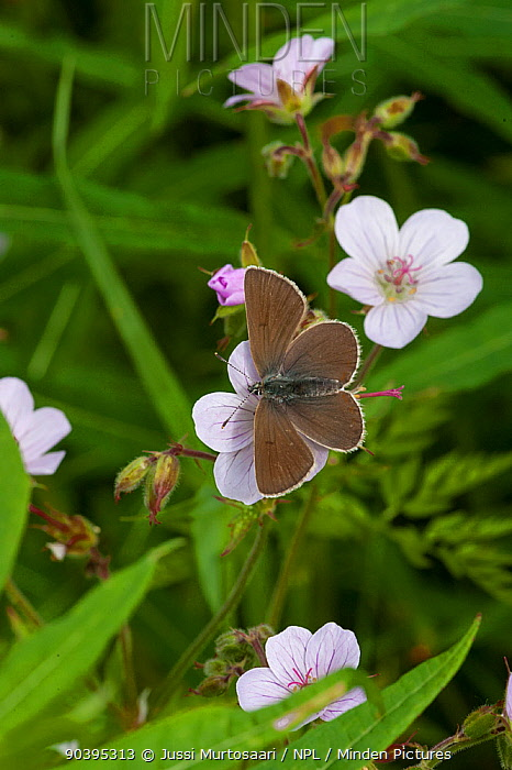 Geranium Argus butterfly (Plebejus eumedon) female, South Karelia, southern Finland, June  -  Unknown photographer