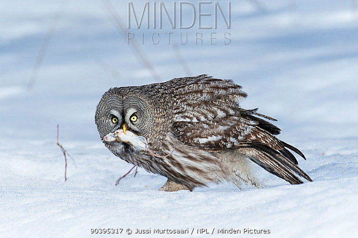 Great Grey Owl (Strix nebulosa) feeding on mouse, southern Finland, April  -  Unknown photographer