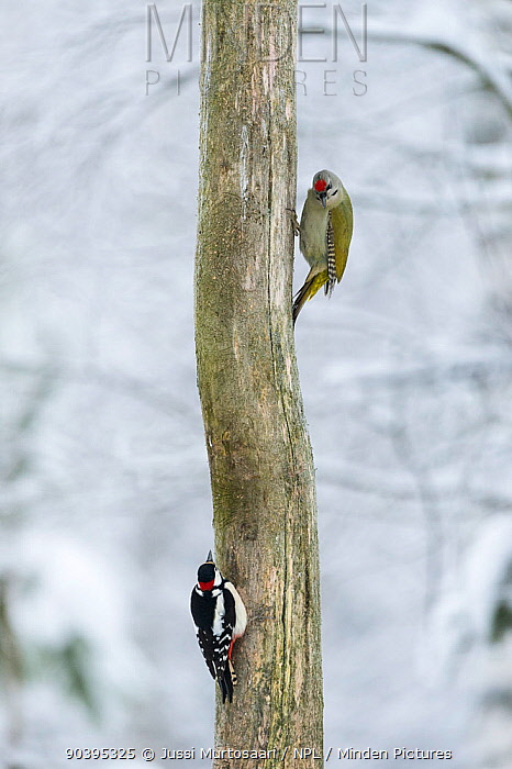 Grey-headed Woodpecker (Picus canus) and Great Spotted Woodpecker (Dendrocopos major) males on tree trunk, southern Finland, January  -  Unknown photographer