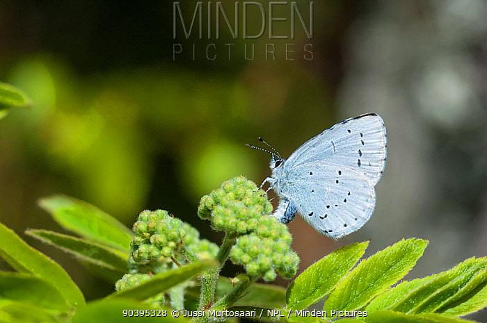 Holly Blue butterfly (Celastrina argiolus) female laying eggs on rowan tree, central Finland, May  -  Unknown photographer