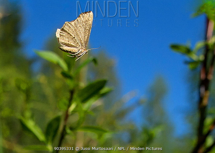 Looper moth (Hypoxystis pluviaria) female, central Finland, May  -  Unknown photographer