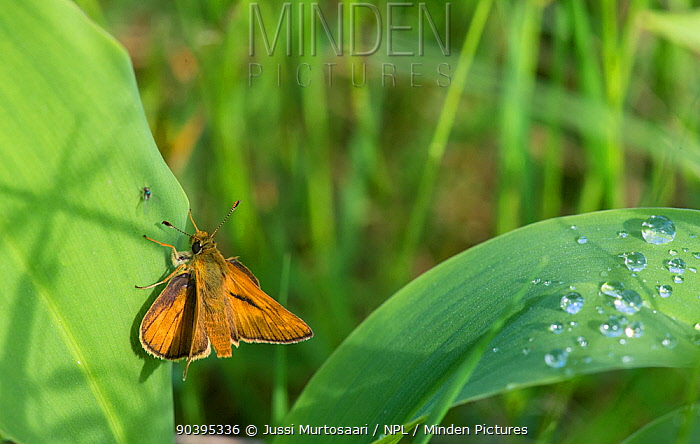 Large Skipper (Ochlodes sylvanus) male, after a rain shower, with fly, central Finland, June  -  Unknown photographer