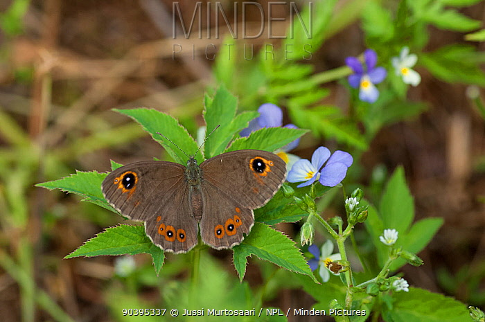 Large Wall Brown butterfly (Pararge maera) female, South Karelia, southern Finland, June  -  Unknown photographer