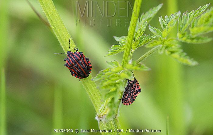 Minstrel Bug (Graphosoma lineatum) Aland Islands, Finland, June  -  Unknown photographer