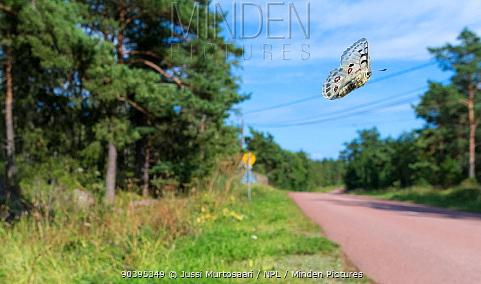 Mountain Apollo (Parnassius apollo) in flight over the road, Aland Islands, Finland, July  -  Unknown photographer
