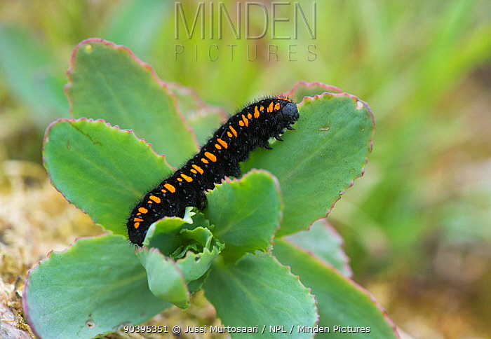 Mountain Apollo caterpillar (Parnassius apollo) on foodplant, southern Finland, May  -  Unknown photographer