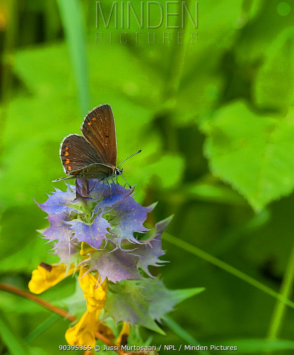 Northern Brown Argus butterfly (Aricia artaxerxes) eastern Finland, July  -  Unknown photographer