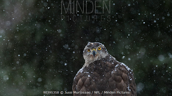 Northern Goshawk (Accipiter gentilis) portrait of female in snow, southern Finland, March  -  Unknown photographer