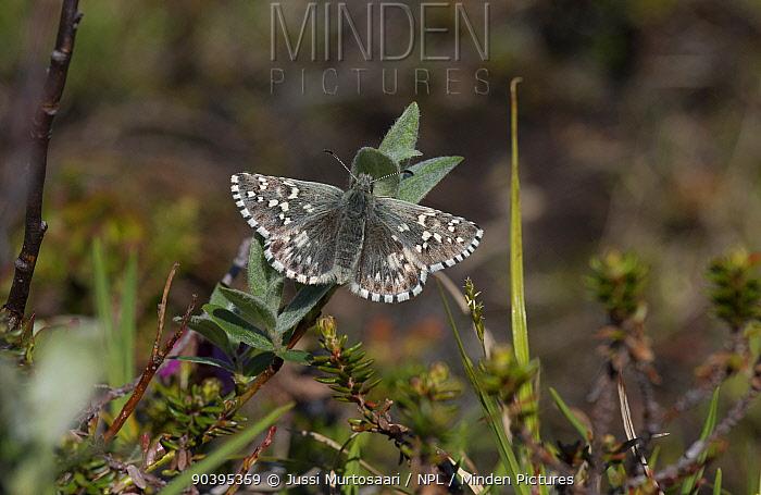 Northern Grizzled Skipper butterfly (Pyrgus centaureae) female, Lapland, Finland, July  -  Unknown photographer