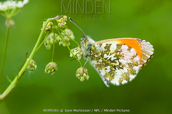 Orange Tip (Anthocharis cardamines) butterfly, male, central Finland, June  -  Unknown photographer