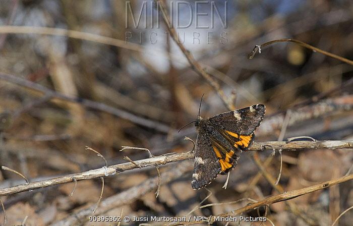 Orange Underwing moth (Archiearis parthenias) on dead twig, central Finland, April  -  Unknown photographer