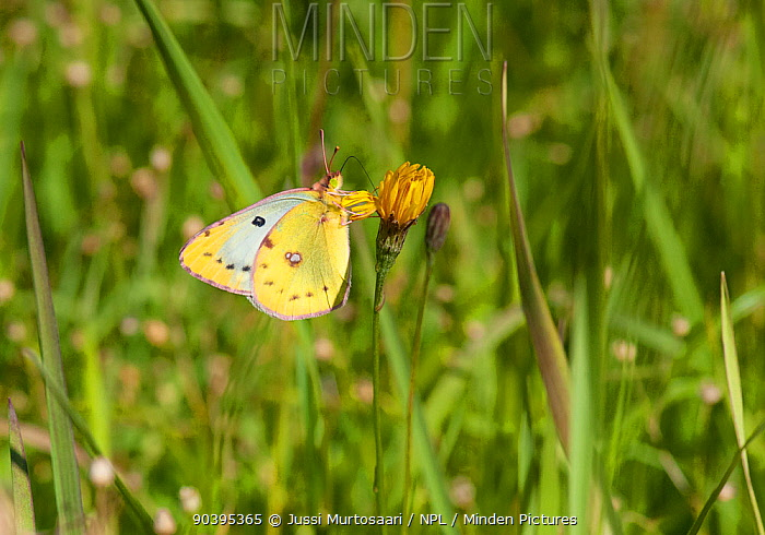 Pale Clouded Yellow (Colias hyale) second generation female, central Finland, August  -  Unknown photographer