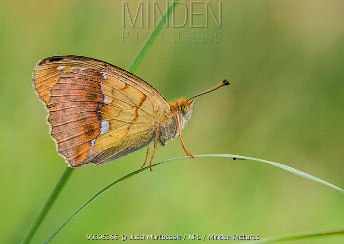 Pallas' Fritillary butterfly (Argynnis laodice) female on grass, southern Finland, August  -  Unknown photographer