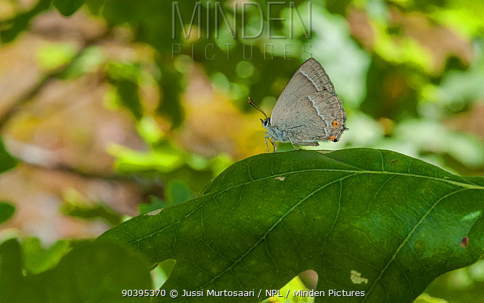 Purple hairstreak butterfly (Favonius quercus) female on oak leaf, Aland Islands, Finland, August  -  Unknown photographer
