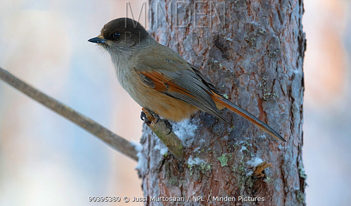 Siberian Jay (Perisoreus infaustus) in winter, central Finland, January  -  Unknown photographer