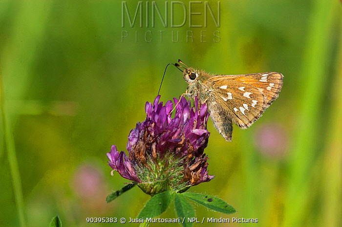 Silver-spotted Skipper (Hesperia comma) female feeding on clover, Finland, August  -  Unknown photographer