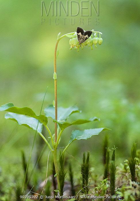 Grass moth (Udea hamalis) Kanta-Hame, southern Finland, June  -  Unknown photographer