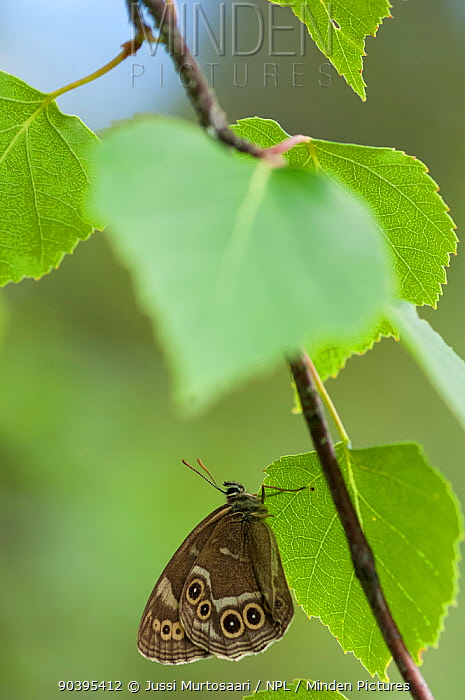 Woodland brown butterfly (Lopinga achine) Kanta-Hame, southern Finland, July  -  Unknown photographer