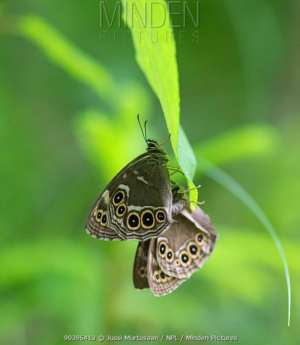 Woodland brown butterflies (Lopinga achine) copulating, Kanta-Hame, southern Finland, June  -  Unknown photographer