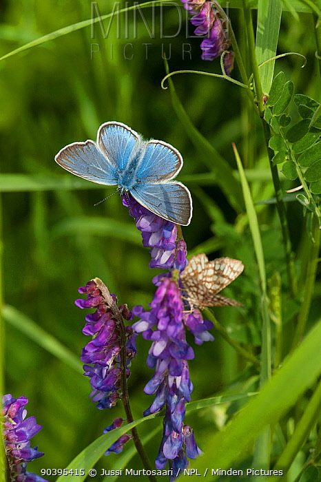 Amanda's blue butterfly (Polyommatus amandus) male, South Karelia, southern Finland, June  -  Unknown photographer