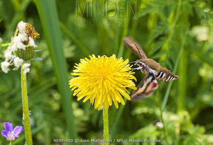 Bedstraw hawkmoth (Hyles gallii) feeding on Dandelion nectar in flight, central Finland, June  -  Unknown photographer