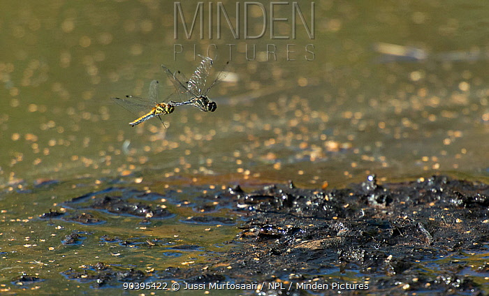 Black meadowhawk dragonfly (Sympetrum danae) female flying in tandem with male, Joutsa (formerly Leivonmaki), Finland, August  -  Unknown photographer