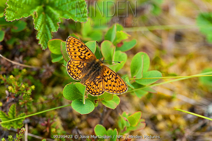 Bog fritillary butterfly (Boloria eunomia) male, central Finland, June  -  Unknown photographer