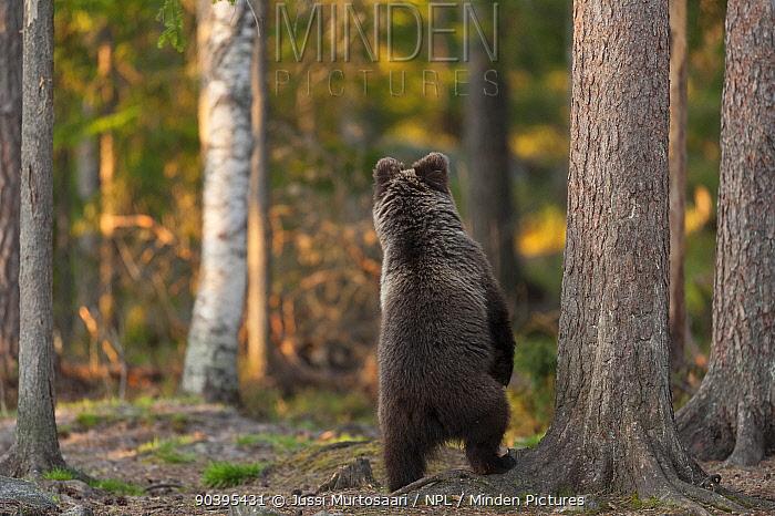 European brown bear (Ursus arctos arctos) standing on hind legs, northern Finland, May  -  Unknown photographer