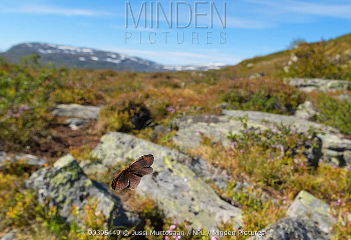Dewy Ringlet butterfly (Erebia pandrose) flying in habitat, Lapland, Finland, July  -  Unknown photographer