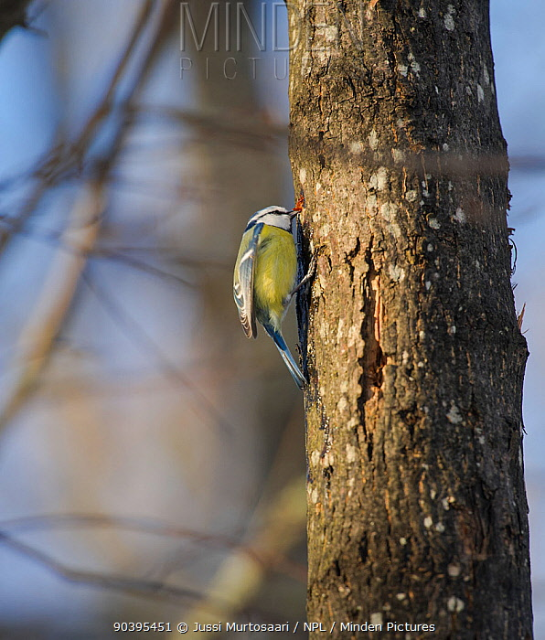 Eurasian Blue Tit (Parus caeruleus) drinking from woodpecker hole, southwest Finland, March  -  Unknown photographer