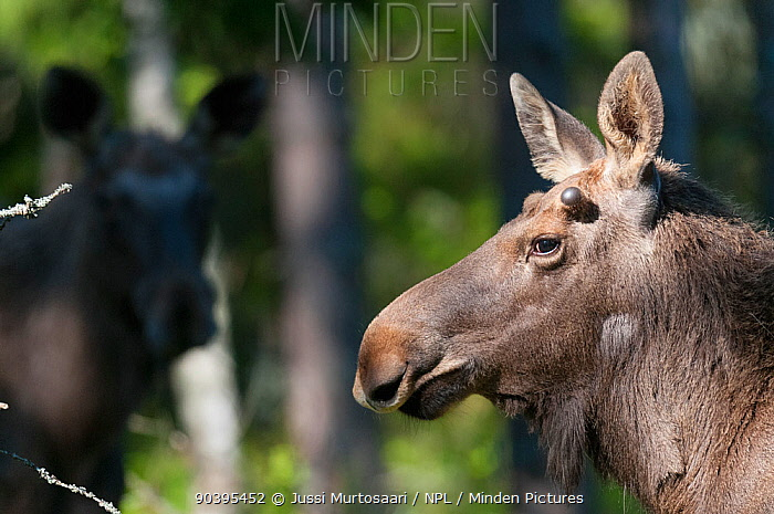 Eurasian moose (Alces alces) portrait, southern Finland, May  -  Unknown photographer