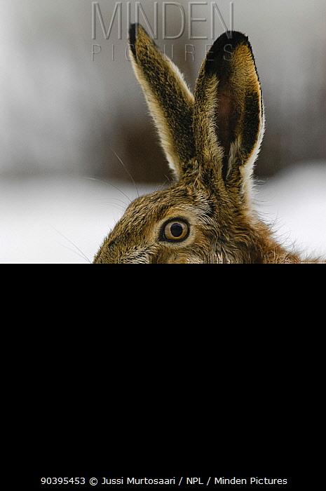 European hare (Lepus europaeus) portrait, central Finland, April  -  Unknown photographer