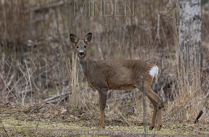 European roe deer (Capreolus capreolus) in winter coat, Finland, April  -  Unknown photographer