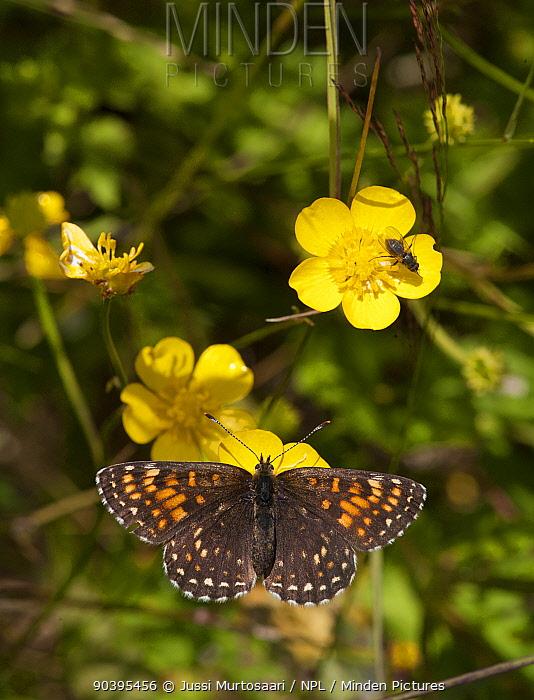 False Heath Fritillary butterfly (Melitaea diamina) female on buttercup, Pirkanmaa, Finland, June  -  Unknown photographer