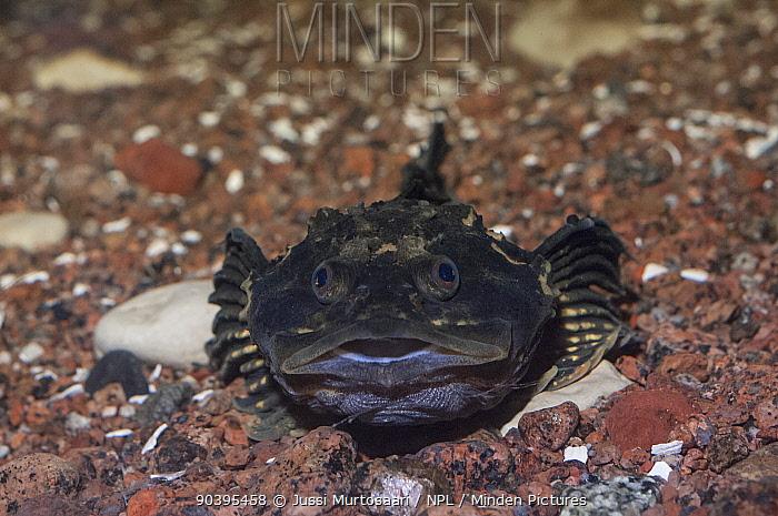 Fourhorn sculpin (Myoxocephalus quadricornis) in aquarium, Kotka, Finland, March  -  Unknown photographer