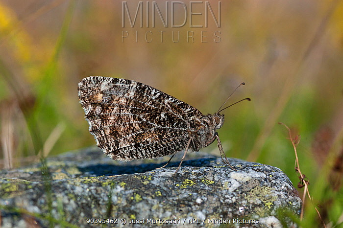 Grayling butterfly (Hipparchia semele) Aland Islands, Finland, August  -  Unknown photographer