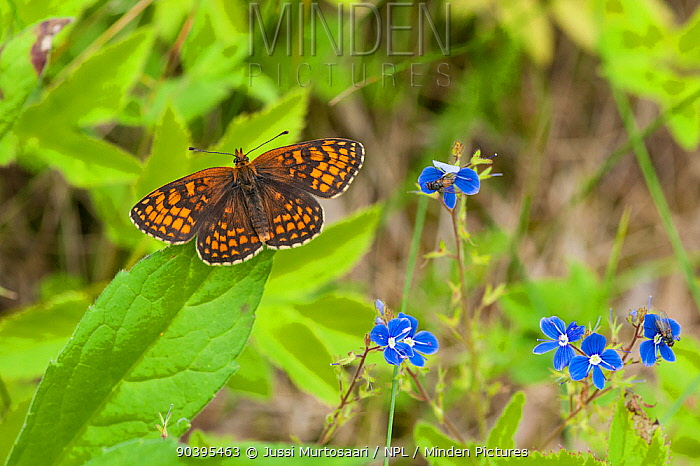 Heath Fritillary butterfly (Melitaea athalia) male, South Karelia, southern Finland, June  -  Unknown photographer