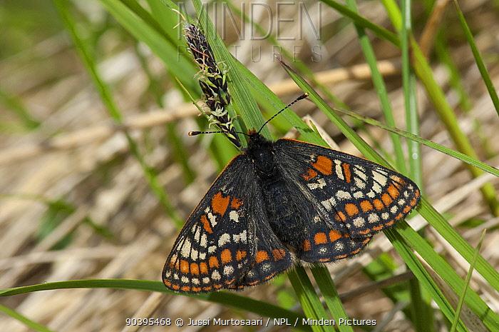 Lapland Fritillary butterfly (Euphydryas iduna) newly emerged female, Lapland, Finland, July  -  Unknown photographer