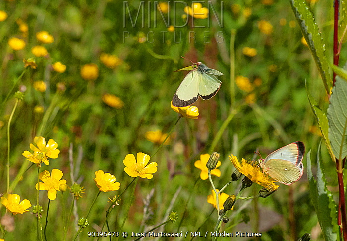 Moorland Clouded Yellow butterfly (Colias palaeno) male and female, Joutsa (formerly Leivonmaki), Finland, July  -  Unknown photographer