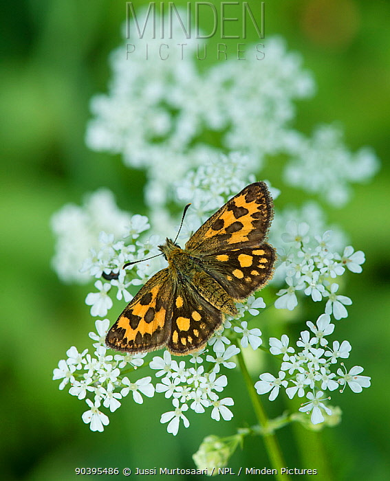 Northern Chequered Skipper, (Carterocephalus silvicola), female on flower  -  Unknown photographer