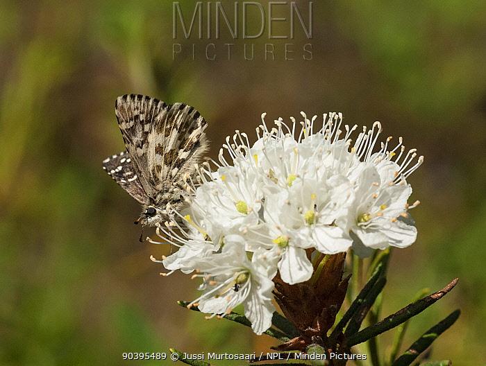 Northern Grizzled Skipper butterfly (Pyrgus centaureae) on Rhododendron flower (Rhododendron tomentosum) Joutsa (formerly Leivonmaki), Finland, June  -  Unknown photographer