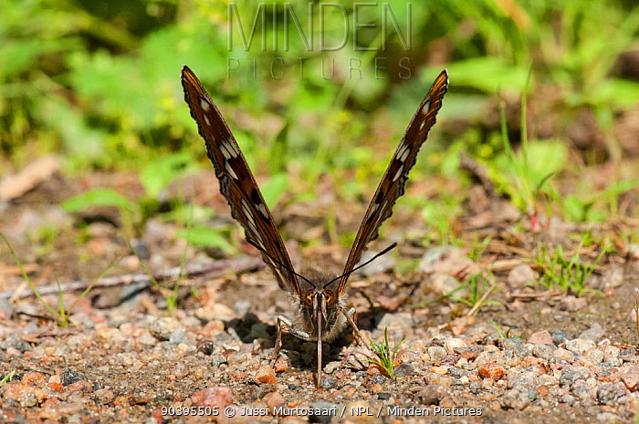 Poplar Admiral butterfly (Limenitis populi) male puddling on road, central Finland, June  -  Unknown photographer