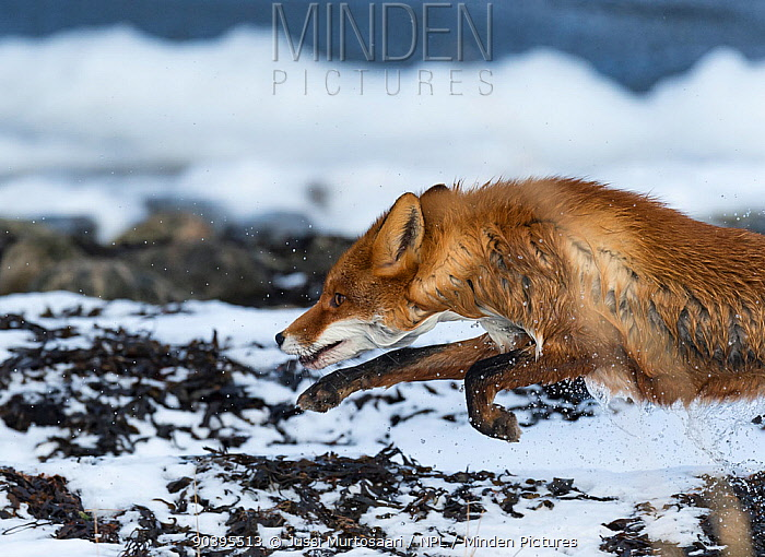 Red Fox (Vulpes vulpes) running out of sea with water dripping off coat, southwest Finland, February  -  Unknown photographer