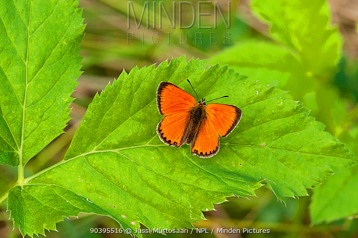 Scarce Copper butterfly (Lycaena virgaureae) male on Anthemis flower, South Karelia, southern Finland, July  -  Unknown photographer