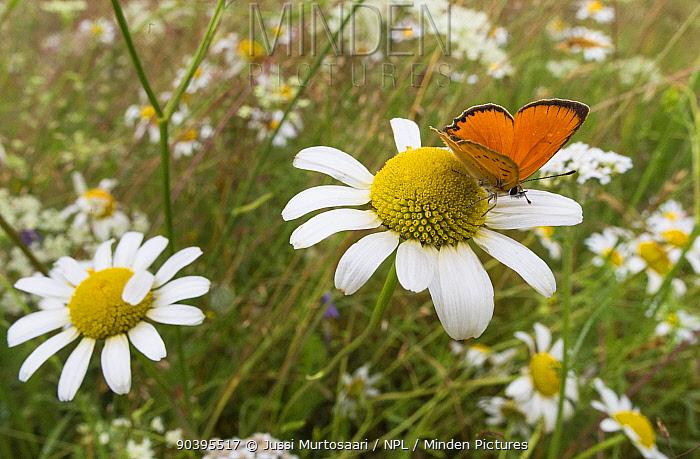 Scarce Copper (Lycaena virgaureae) male in meadow on ox-eye daisy, Joutsa (formerly Leivonmaki), Finland, July  -  Unknown photographer