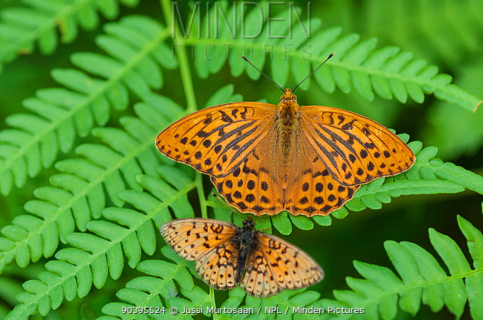 Silver Washed Fritillary butterfly (Argynnis paphia) male and Small Pearl-bordered Fritillary butterfly (Boloria selene) Finland, July  -  Unknown photographer