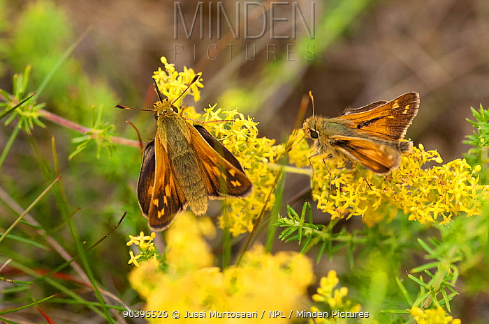 Silver-spotted Skipper (Hesperia comma) female and male on flower, Finland, July  -  Unknown photographer